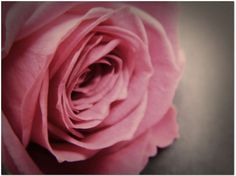 Shabby Chic Large Wall Art  Rose  Fine Art by DElisePhotography