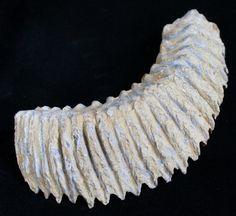 rastellum-carinatum.jpg (1500×1376)