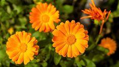 MĚSÍČEK LÉKAŘSKÝ: Jak vypěstovat krásnou léčivku, která nahradí drahý šafrán | Prima Living Herbs, Garden, Plants, Garten, Lawn And Garden, Herb, Gardens, Plant, Gardening