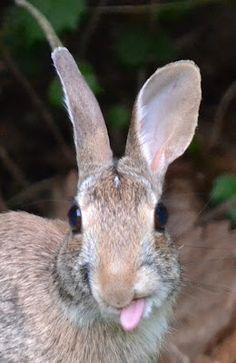 "Cute bunny giving us ""the raspberries"" !"