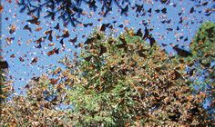 Monarch butterflies in Michoacan, Mexico
