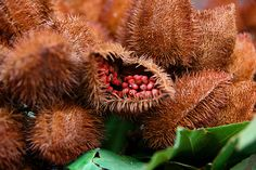 Urucu, Native to the Amazon, yields red seeds that are the best naturally occurring source of the pigment annatto #exotic #fruit #venusfly #places
