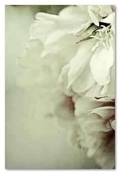 toda la tarde, flores by Esther Miguez - reminds me of georgia okeefe Colorful Roses, White Flowers, Beautiful Flowers, Pretty Pictures, Delicate, Bloom, Pure Products, Abstract, Artwork
