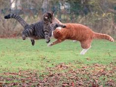 Muffi and Tiger demonstrating their martial arts skills in the back yard of their owner, computer programmer Mats Hamnas' house in Helsingborg, Sweden.