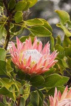 Should pin this in gardening too. Tropical Plants, Tropical Flowers, Hawaii Pictures, Maui Photographers, Protea Flower, King Protea, Rare Plants, Gladiolus, Afrikaans