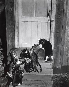 zzzze: Edward Weston, Cats on Steps, 1944 - This is a different conversation Edward Weston, Crazy Cat Lady, Crazy Cats, Neko, Henry Westons, Cat Photography, Street Photography, Vintage Cat, In Kindergarten