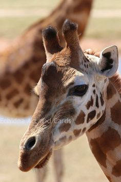 Giraffe Portrait Nature Photo Card Animal by EchidnaArtandCards, $5.00