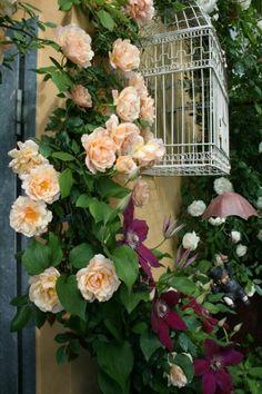 Crepuscole rose and Clematis Westerplatte, potted. Terrazzino 2013 - Forum Giardinaggio