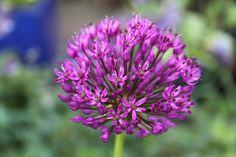 Deze plant is geschikt voor de ondersteuning door de   Solitairpin van www.detuinfee.nl. Verkrijgbaar in 4 hoogtes.