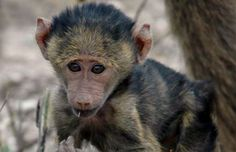 The two most common baboons occur in East Africa, the olive baboon and the yellow baboon.