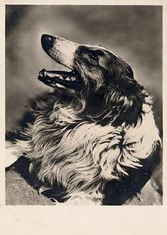 . Collie Mix, Rough Collie, Iconic Photos, Old Photos, All About Cats, Australian Shepherd, Pictures Images, Vintage Postcards