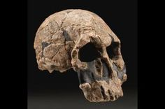 KNM-ER 1470. The first Homo rudolfensis. beautiful specimen found by Richard Leakey