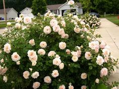 morden blush rose - trees for AB Acres suggested by Danielle Zadunayski Rose Hardy, Rose Trees, Blush Roses, Garden Plants, Container Gardening, Succulents, Floral Wreath, Landscape, Pastels