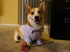 That one time when Corgnelius the corgi had a hot date. | The 35 Happiest Moments In Animal History