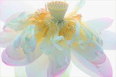 Lotus Flower Surreal Series Macro: DD0A6153-1-1000