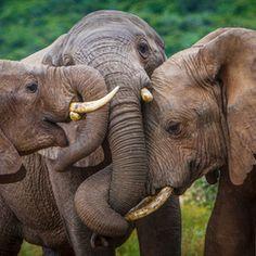 Group hug - elephant style I want a elephant soooooooooo ccccccccuuuuuuuutttttttteeeeeeeee All About Elephants, Elephants Never Forget, Save The Elephants, Elephants Playing, Baby Elephants, Animals And Pets, Baby Animals, Cute Animals, Wild Animals
