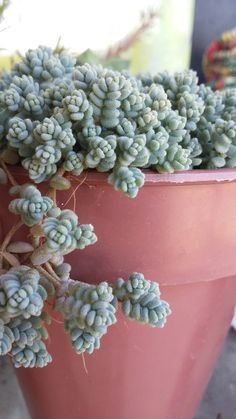 Sedum dasyphyllum azul