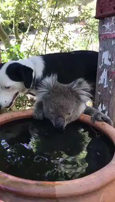 Koala bear having a drink of water with . - Koala bear having a drink of water with doggo Effektive Bilder, die wir über motorad tattoo anbie - Cute Little Things, Cute Little Animals, Cute Funny Animals, Cute Dogs, Cute Babies, Funny Koala, Cute Animal Videos, Animals Beautiful, Beautiful Snakes