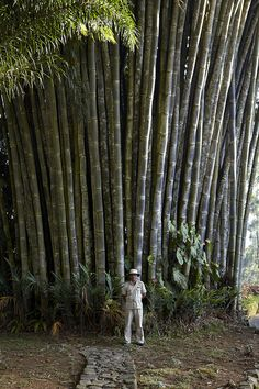 Norwood Giant Bamboo, via Ceylon Tea Trails.