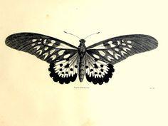 Impresión del vintage mariposa francés antiguo original 1860