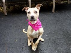 SAFE 11/23/13!!  Manhattan Center -P   YAHTZEE #A0984769  Female tan pit bull mix  2 YRS  STRAY 11/12/13  Yahtzee was found abandoned, skin & bones. Friendly & tense during intake exam. She did well on behavior tests except for food/rawhides where she showed some guarding-common w/ strays, retrainable! Yahtzee really needs a home, a family, a place where meals will just be a normal part of the day but where love, respect and care will be the hallmarks of life.