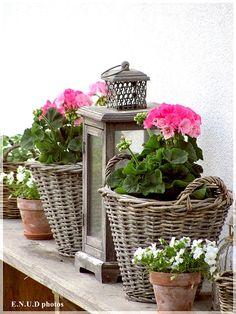 pink geraniums in wicker baskets