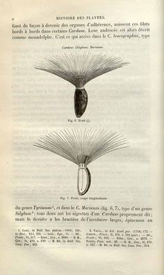 230208 Silybum marianum (L.) Gaertner [as Carduus marianus L.]  / Baillon, H.E…
