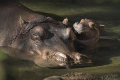 Disney Welcomes a Baby Hippo