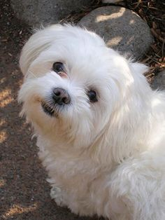 Dog Breeds A-Z - Maltese - Page 5 - - Photos - Pets - Yahoo!7 ...