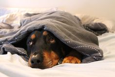Rottweiler can you see me now