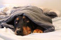 Scary, vicious #Rottweiler.