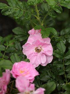 Gammaldags busk- & parkrosor på Zetas Trädgård. Rosa Rugosa-Gruppen 'Jens Munk'
