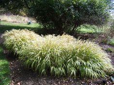 Planting a deer proof garden - Japanese Forest Grass