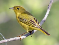 Yellow Warbler-female justintrails.com - Recorded during 2010 bird count at Justin Trails Resort.