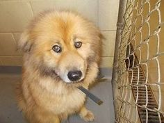 Meet Tag 96 a Petfinder adoptable Chow Chow Dog | Columbus, GA | Petfinder.com is the world�s largest database of adoptable pets and pet care information. Updated daily, search Petfinder for one of over 300,000 adoptable pets and thousands of pet-care articles!