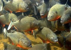 A large group of red-bellied Piranha underwater in Venezuela: These iconic predators of Amazonian rivers and flooded forests are in fact timid scavengers, most likely to feed on other fish, insects, invertebrates and even plants