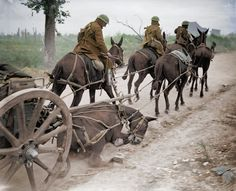 This photograph depicts a poor mule in a limber team collapsed after being hit by a shell splinter near the village of Rémy, during the Battle of the Drocourt-Quéant Line, part of The Hundred Days Offensive. This battle ended with the German forces German army withdrawing 40 miles (64 km) to the Hindenburg Line, that would be broken shortly after the events.  02/09/1918  #ww1 #wwi #1918 #france #horses #drocourt #quéant #remy #100daysoffensive #cavalry #animalsatwar