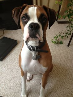 Boxers are so handsome Boxers, Pitbulls, Handsome, Dogs, Animals, Animales, Pit Bulls, Animaux, Pet Dogs