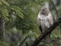 Buteo buteo Bird Feathers, Beautiful Birds, Bald Eagle, Finland, Cool Photos, Spring, Amazing, Life