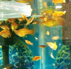 (12) Mystery mixed swordtails fish no swordtail could grow tail or not?smallsize $110 Aquarium Fish For Sale, Tropical Aquarium, Aquarium Fish Tank, Tropical Fish, Swordtail Fish, Selective Breeding, Live Fish, Colorful Fish