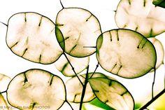 Annual Honesty (Lunaria annua) seed pods