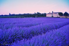 Dusk, Lavender Field, France