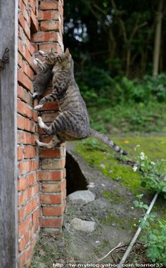 Climbing a brick wall with a kitten. Cats are excellent mamas !