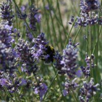 Nature's Gift | Aromatherapy Products | Lavender, Maillette Essential Oil