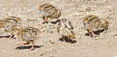 Image result for california quail chicks