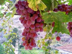 "Cyprus - Grapes grown in Alona village: a variation known as ""Veriko"". Because it's indeed Very Good!!! Photo 