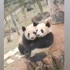 Amazing Animal Pictures, Bear Pictures, Cute Animal Photos, Funny Animal Pictures, Cute Funny Animals, Cute Baby Animals, Panda Love, Cute Panda, Panda Lindo