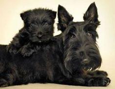Terrier Escoces