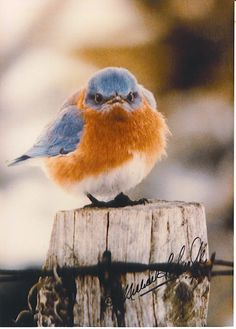 This bluebird sure is pissed off about having his picture taken. I thought only some people got this puffed-up when the camera lens pointed their way.