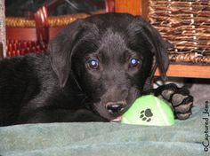 Captured Jems Photography - Pet Portraits Pet Portraits, Labrador Retriever, Pets, Photography, Animals, Labrador Retrievers, Photograph, Animales, Animaux